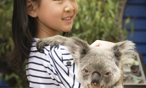 Dreamworld Koalas