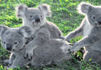 Photo From Lone Pine Koala Sanctuary Facebook Page